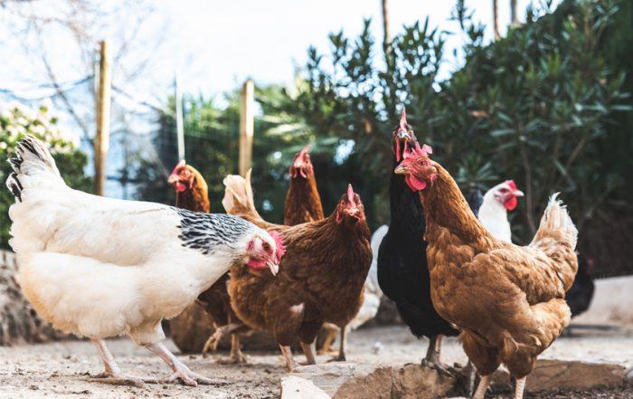 pollo ecologico carnes beunza
